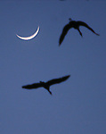 CHAD PILSTER · Hays Daily News<br /> <br /> Sandhill cranes fly in past the sliver of a moon to nest on Wednesday, March 14, 2013 during a Hays High School field trip to see the sandhill cranes at the Iain Nicolson Audubon Center at Rowe Sanctuary in Gibbon, Nebraska. In order to reach northern destinations as far away as Alaska, cranes must build up enough energy to complete their long journey and to begin breeding. The Platte River provides the perfect spot to rest, and the nearby farmlands and wet meadows offer an abundance of food.
