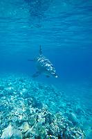 friendly wild bottlenose dolphin, Tursiops aduncus, Egypt, Red Sea
