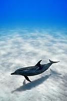 Bahamas, Grand Bahama Bank, Atlantic spotted dolphin, Stenella frontalis, underwater