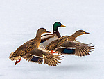 Three Mallard ducks in winter.