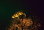 Atlantic Salmon female excavating nest, or redd on gravel bottom.