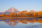 Cottonwoods ablaze in fall color with Mt. Moran and reflection in Oxbow bend.