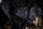 Black bear (Urs americanus) in den