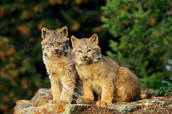 Canadian Lynx kittens (Lynx canadensis)