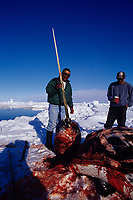 Inuit hunters with narwhal, Monodon monoceros, showing spiraled tusk, Canadian Arctic