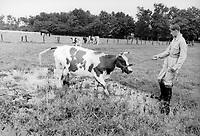 cow in a field, holland, circa 1950