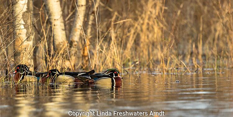 Drake wood ducks in northern Wisconsin