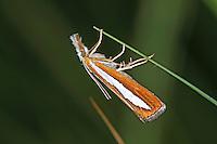 Zünsler, Catoptria margaritella, Crambus margaritellus, Pearl-band Grass Veneer, Silver-stripe Grass-veneer. Crambidae, Zünsler