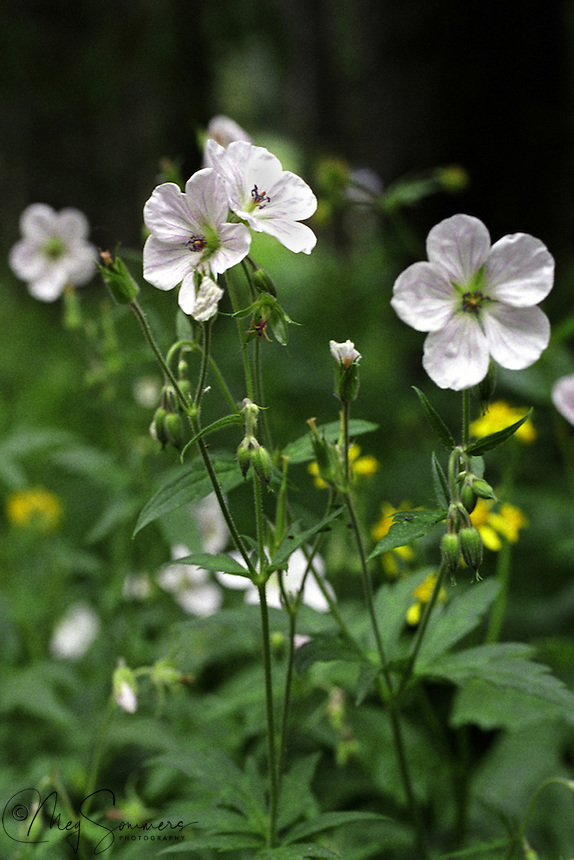 Richardson's Geranium (Geranium richardsonii) is a perennial herb varying in maximum height from 20 to 80 centimeters. The plant grows from a tough, woody taproot and older plants develop rhizomes.