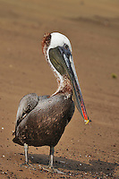 Brown Pelican (Pelecanus occidentalis), adult, Galapagos Islands, Ecuador, South America