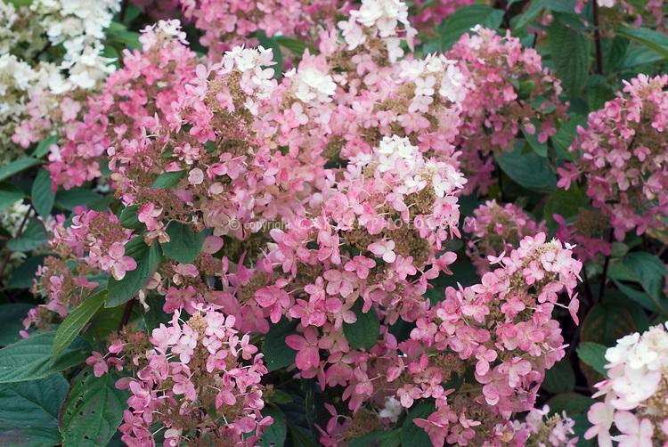 Hydrangea paniculata 'Pink Diamond' flowers in masses