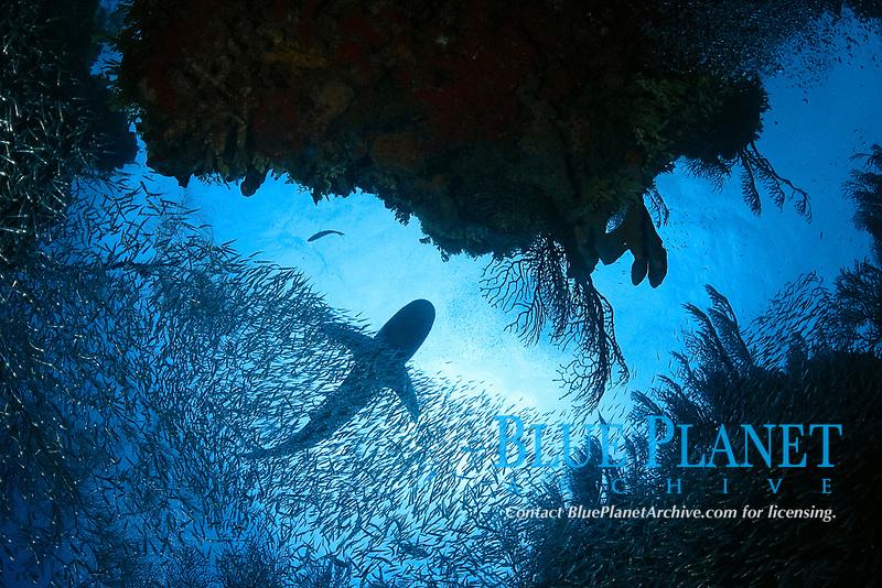 Caribeen Reef Shark, Carcharhinus perezii, Bahamas, Caribbean, Atlantic