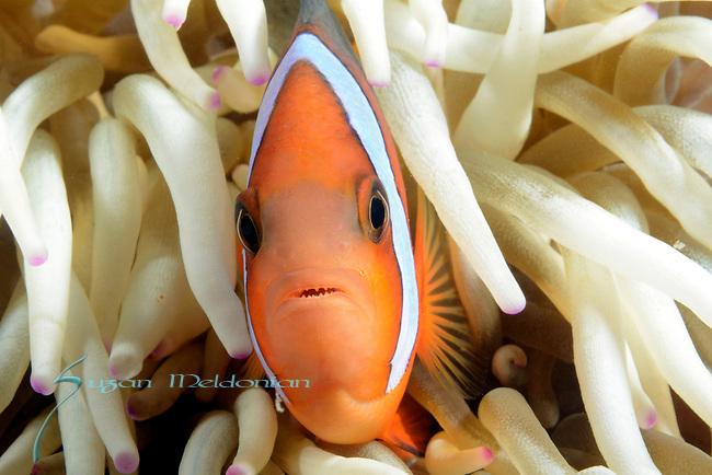 Anemone fish ,Visayas, Philippines 2017