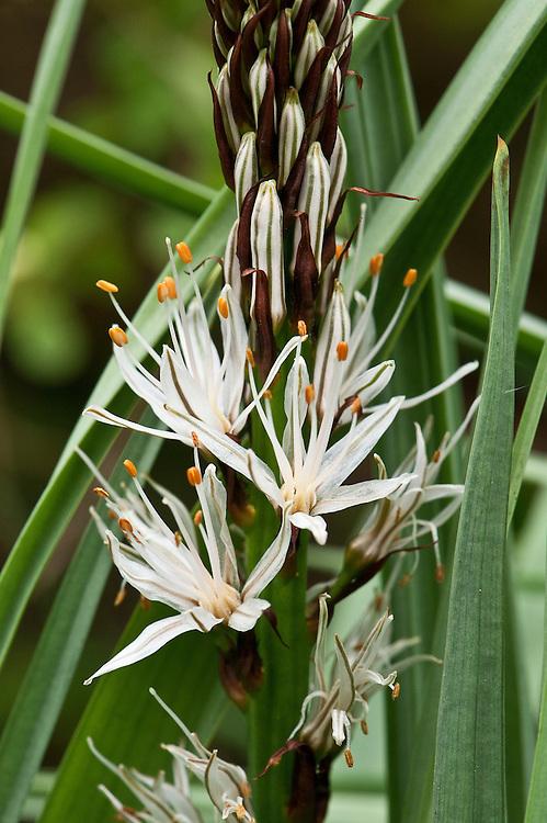 Summer or common asphodel (Asphodelus aestivus syn. Asphodelus microcarpus), mid April. Also known as silver rod. A wildflower in the southern Mediterranean.