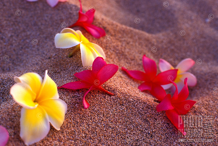 Plumeria flowers scattered in white sand at sunset on Oahu's north shore