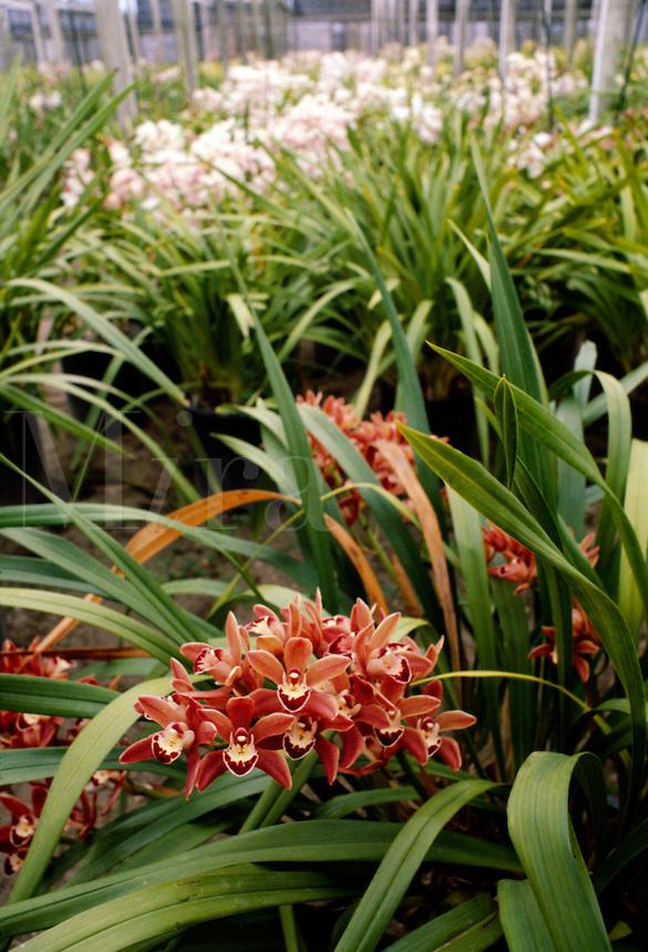 Blooming CYMBIDIUM ORCHIDS at ARMACOST & ROYSTON ORCHID FARM - SANTA BARBARA, CALIFORNIA