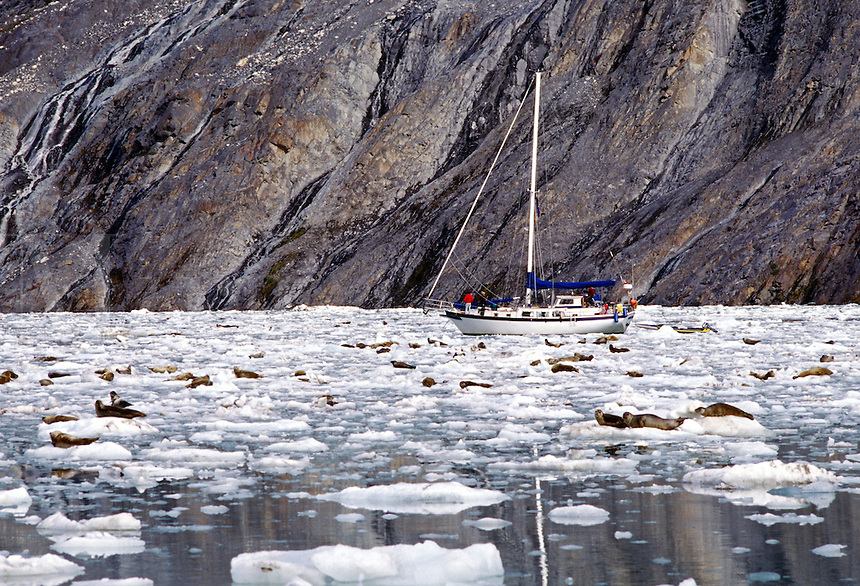 A PRIVATE SAILBOAT and HARBOR SEALS (Phoca vitulina) amidst the ICE FLOE of JOHN HOPKINS INLET - GLACIER BAY NATIONAL PARK, ALASKA