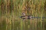 Female wood duck in spring