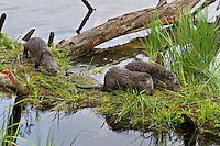 Northern River Otter (Lontra canadensis) pups play on grassy log along edge of lake while mom hunts for food.  Western U.S., summer..