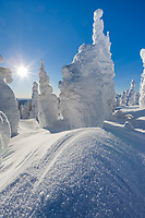 Wind blown snow and hoar frost on Spruce trees, Interior, Alaska