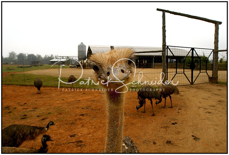 An ostrich looking directly into the camera makes for a funny photo at the Lazy Five Ranch in Mooresville, NC. Lazy 5 Ranch is a privately owned exotic animal drive through park and safari in Iredell County, NC.