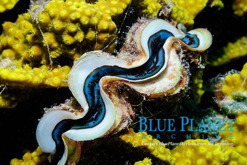 Giant clam, Scientific name: Tridacna squamosa, off coast of Safaga, Egypt, South, Red Sea, tropical water