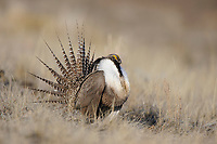 Adult male Gunnison Sage-Grouse (Centrocercus minimus) displaying at a lek. Gunnison County, Colorado. April.