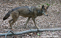 0503-0906  Critically Endangered Red Wolf, Canis rufus (syn. Canis niger)  © David Kuhn/Dwight Kuhn Photography