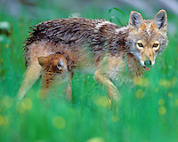 Wild coyotes--mother nursing young pup.  Western U.S., June.