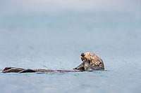 Sea otter floats on its back, Prince William Sound, southcentral, Alaska.