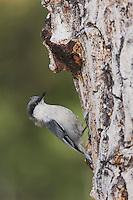 Pygmy Nuthatch,Sitta pygmaea, adult climbing on pine tree, Rocky Mountain National Park, Colorado, USA