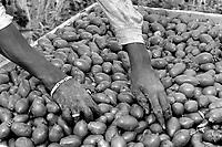 - Africans immigrants work to the harvest of tomatoes<br /> <br /> - immigrati africani lavorano alla raccolta dei pomodori
