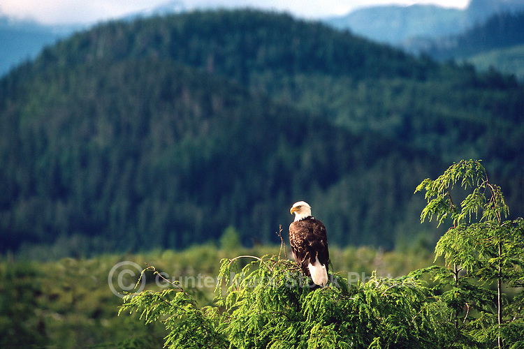 Mature Adult Bald Eagle (Haliaeetus leucocephalus) perched on Tree Top Branch