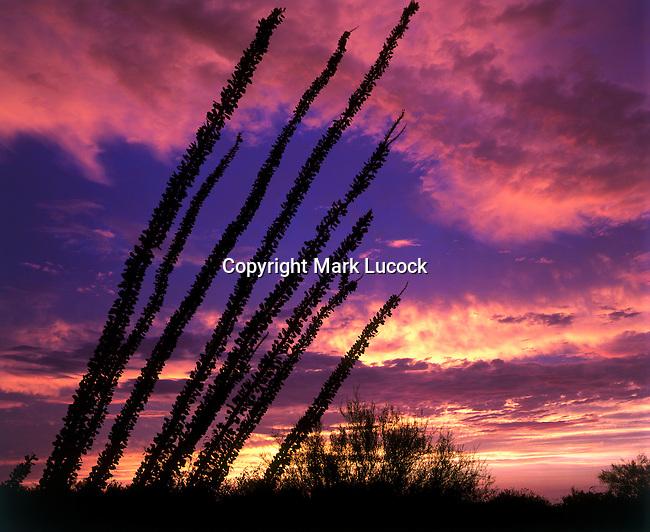 Ocotillo Sunset 16x12