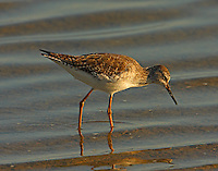 Lesser yellowlegs in non-breeding plumage