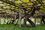 Fujidana Wisteria tree trellis at Byodo-in temple Uji, Kyoto Prefecture, Japan Image © MaximImages, License at https://www.maximimages.com