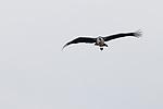 Marabou Stork (Leptoptilos crumeniferus) flying, Kruger National Park, South Africa
