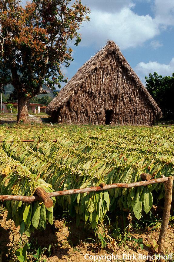 Trocknen von Tabak im Valle de Vinales, Provinz Pinar del Rio, Cuba, Unesco-Weltkulturerbe