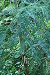 14936-CD California Nutmeg, foliage, Torreya californica, source of drug that has led to vandalism of protected trees, Santa Barbara Botanical Garden, USA