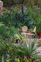 Aloe arborescens under Englemann oak with Aeoniums by patio and Dasylirion wheeleri in foreground. Debra Lee Baldwin Southern California backyard succulent garden