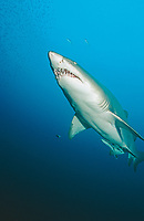 sand tiger shark, grey nurse shark, Carcharias taurus, North Carolina, USA, Atlantic Ocean