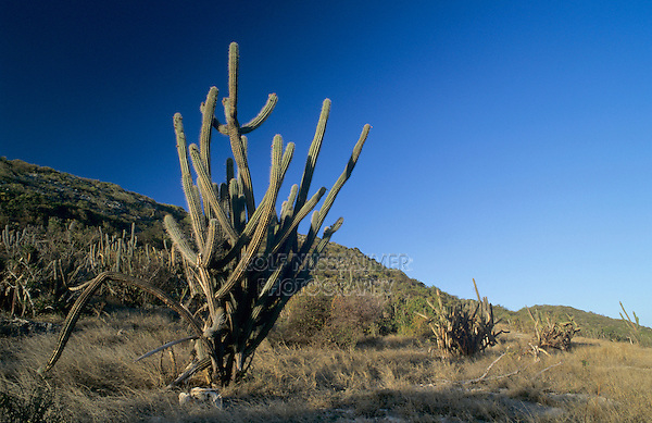 Spanish Dildo Cactus, Cephalocereus royenii, Guanica State Forest, Puerto Rico, USA