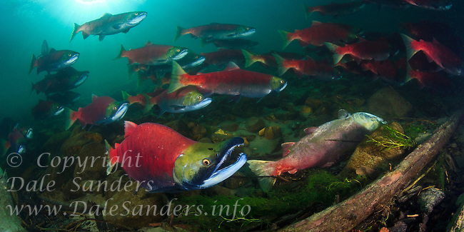 Sockeye Salmon ( Oncorhynchus nerka) spawn and die in the Adams River, British Columbia, Canada.