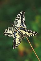 Old World Swallowtail (Papilio machaon), pair mating, Switzerland
