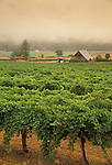 Valley View Vineyards, Applegate Valley, southern Oregon, with fog in valley..#2349-1619