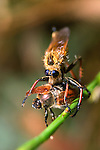 Robberfly and Chafer Beetle