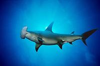 great hammerhead shark, Sphyrna mokarran, Bahamas, Caribbean Sea, Atlantic Ocean (do)