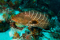 Tiger grouper, Mycteroperca tigris