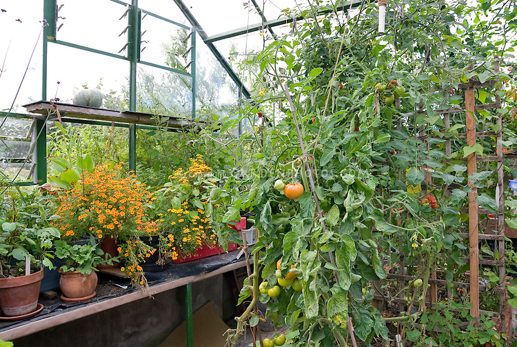 Interior of a greenhouse with tomato plants growing inside, vegetable garden with signet marigold flowers