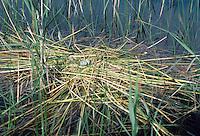 Weißflügel-Seeschwalbe, Nest, Gelege mit Eiern, Weißflügelseeschwalbe, Seeschwalbe, Chlidonias leucopterus, White-winged Tern, White-winged Black Tern